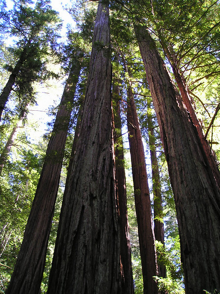 Looking up into a young redwood grove.