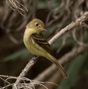 Pacific-slope Flycatcher Empidonax difficilis