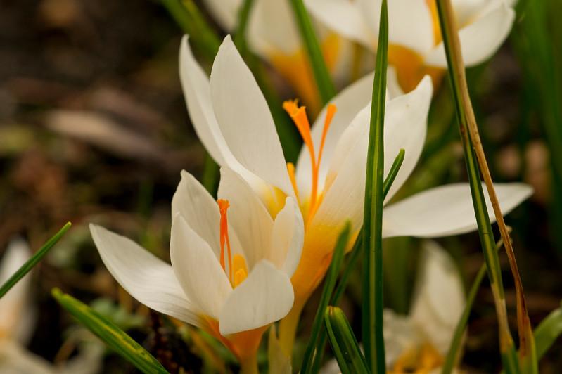 White Crocus Flowers in Spring