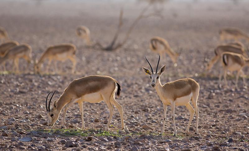Gazelle (3).jpg