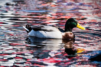 Ducks: 2019