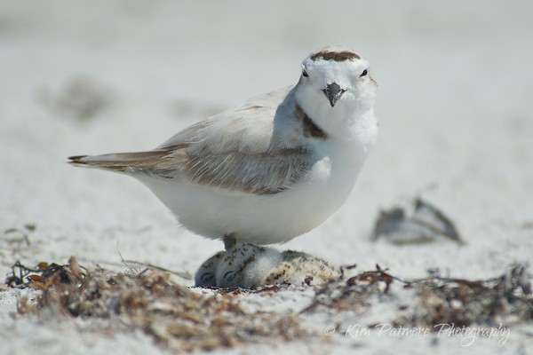 Snowy Plover and New Chicks 2013 - Sanibel, Florida - Photo Journal