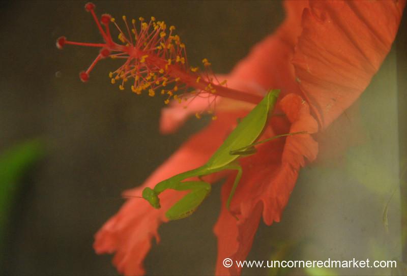 Praying Mantis Up Close - Utila, Honduras