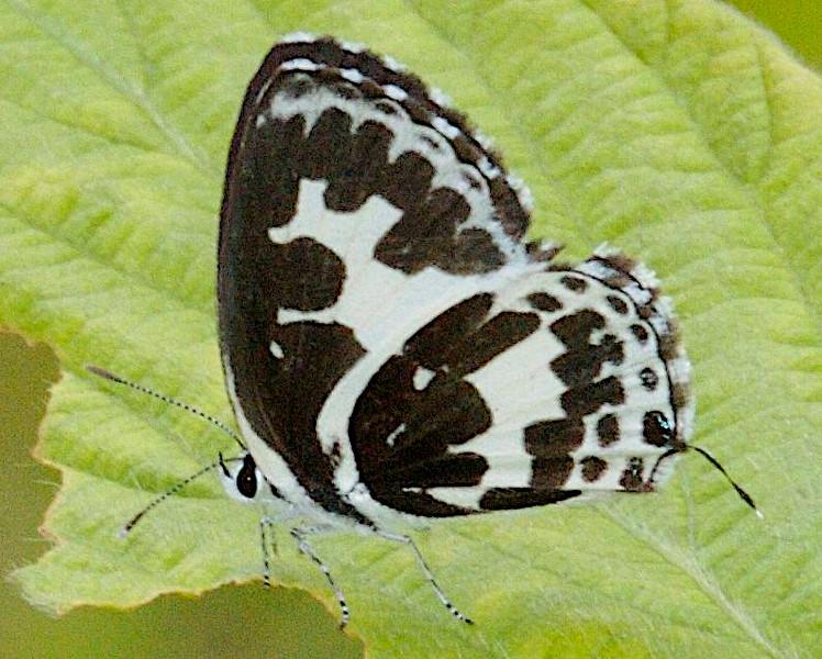Lao Butterflies