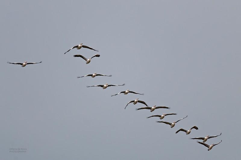 Australian Pelican, Nockatunga, QLD, Jul 2010.jpg