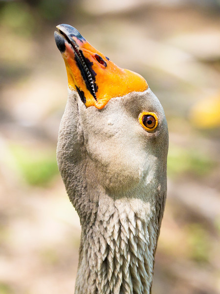 China Goose trying to frighten us.