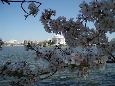 Cherry Blossoms 2007