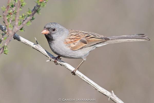Black-chinned Sparrow (Spizella atrogularis)