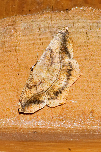 Spanworm - Large Maple - (Prochoerodes lineola) - Dunning Lake - Itasca County, MN