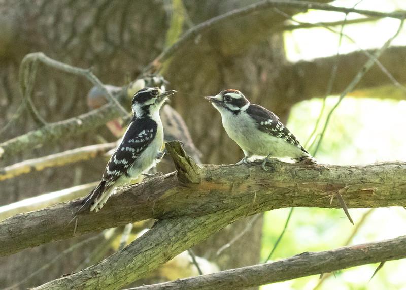 Hairy Woodpecker Hairy Woodpecker