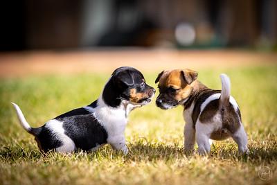 Hall Puppies