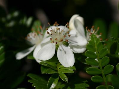 Osteomeles anthyllidifolia (Rosaceae)