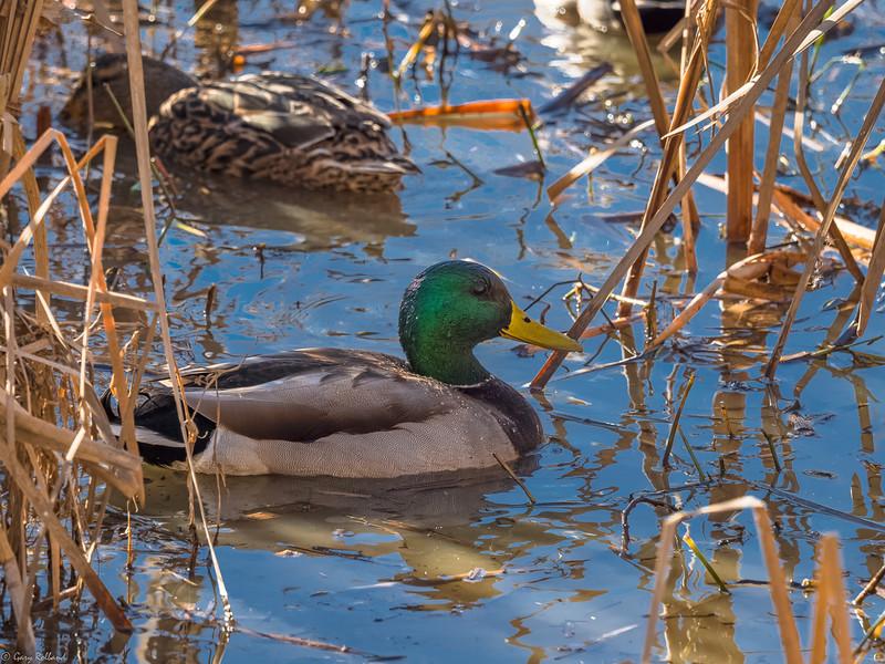 30 Jan 01 Local Duck (1 of 1).jpg