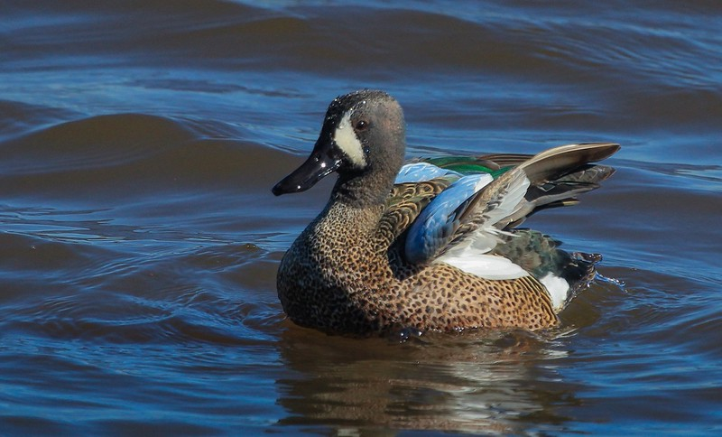 zzzzAnahuac 2-25-2016 396B,Blue-winged Teal, folding wings after a stretch.jpg