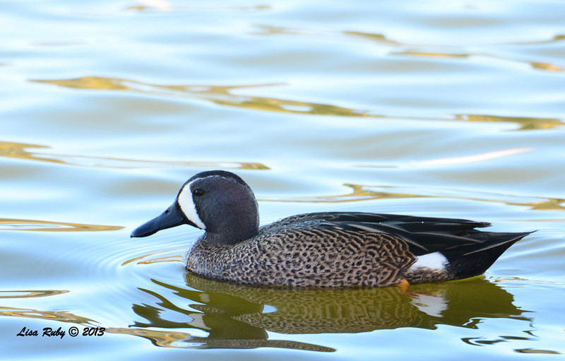 Blue-winged Teal - 12/23/13 - Santee Lakes
