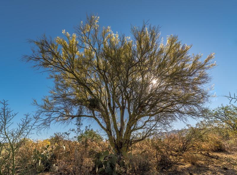 BR - Backlit Saguaro in  Bloom