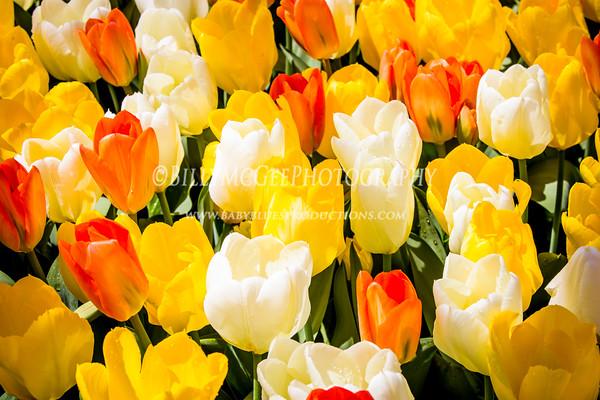 Tulips at Longwood Gardens - 20 Apr 2013