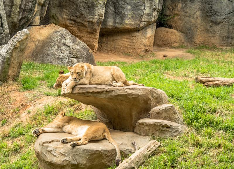 29 Jun 25 Aseboro Lions z (1 of 1).jpg