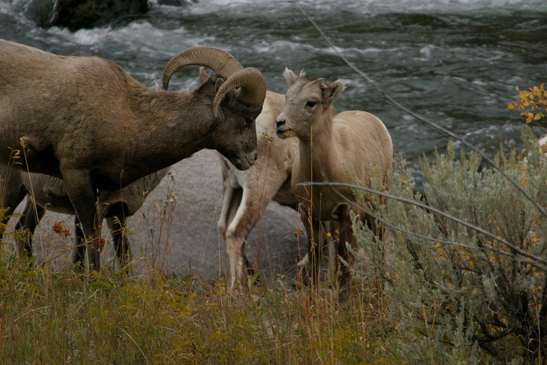 Bighorn Sheep come down off the high plateaus to drink in the Gardiner River [October; Yellowstone National Park, Wyoming]