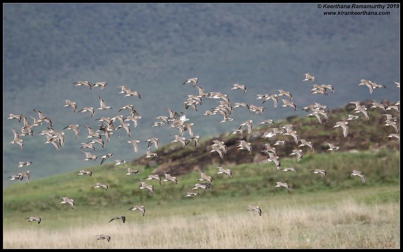 Wood Sandpiper in flight, Ngorongoro Crater, Ngorongoro Conservation Area, Tanzania, November 2019
