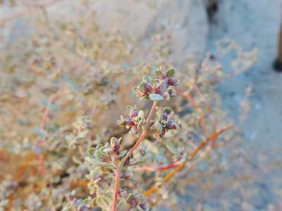 Smallseed Sandmat (Euphorbia polycarpa)