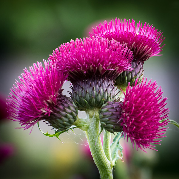 We will be planting some thistle fields at our home next year.