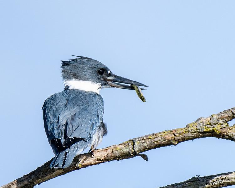 Belted Kingfisher-3759.jpg