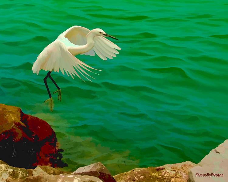 Egret-Landingwatecolor.jpg