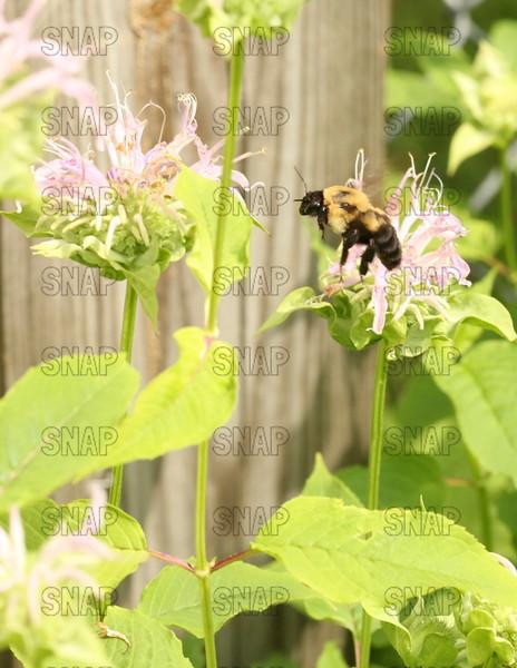 Bumble Bee (Bombus terricola occidentalis).