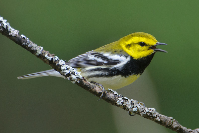 Warbler - Black-throated Green - Dunning Lake, MN