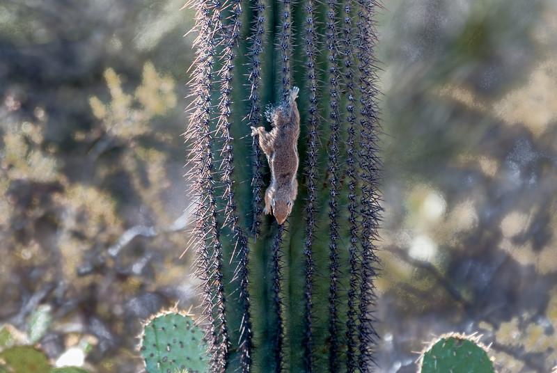 Harris's antelope squirrel climbing Saguaro Cactus #2