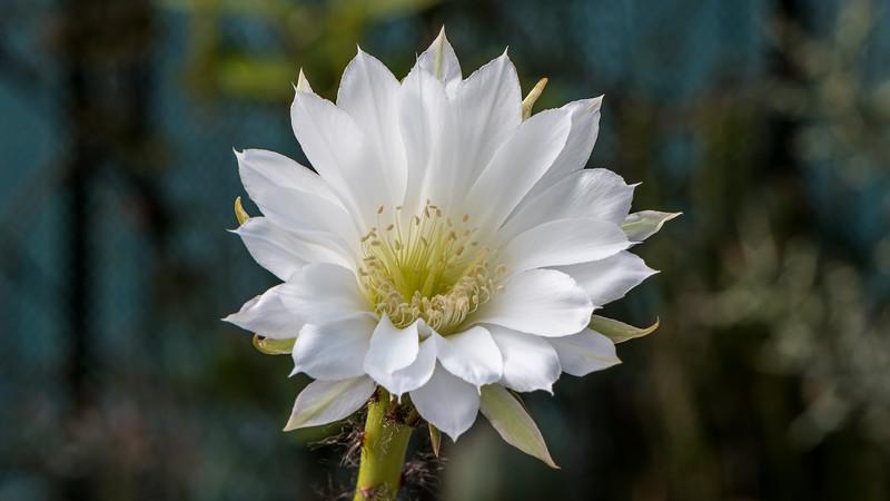 Echinopsis subdenudatum