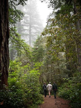 Redwoods 2015