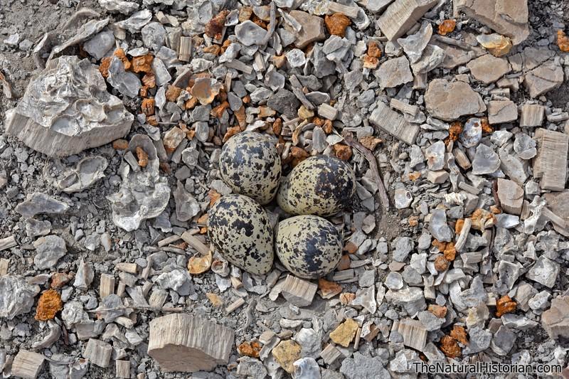 Killdeer-eggs-Kansas-monument-rocks-2016.jpg