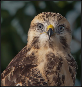 Buizerd/Common Buzzard