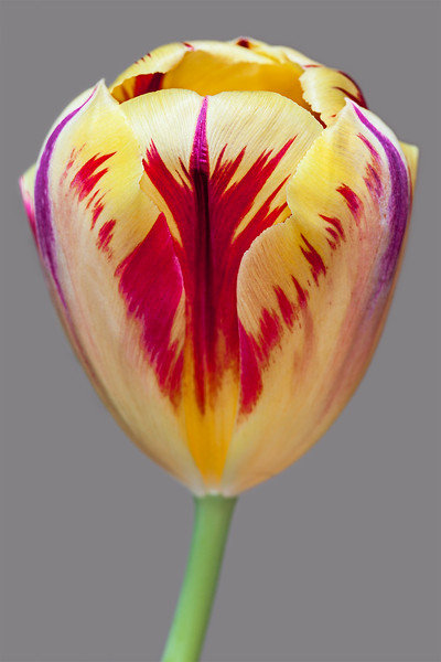yellow flame tulip