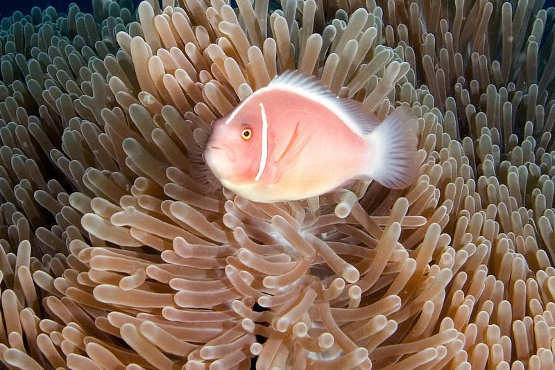 Pink Anenome Fish 1.jpg