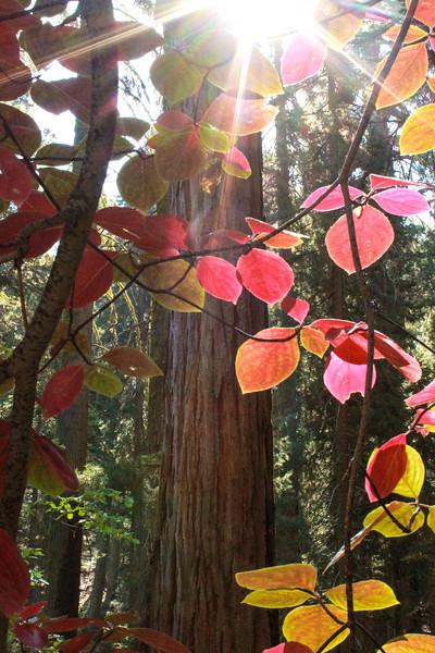 Sequoia* spring WS.jpg