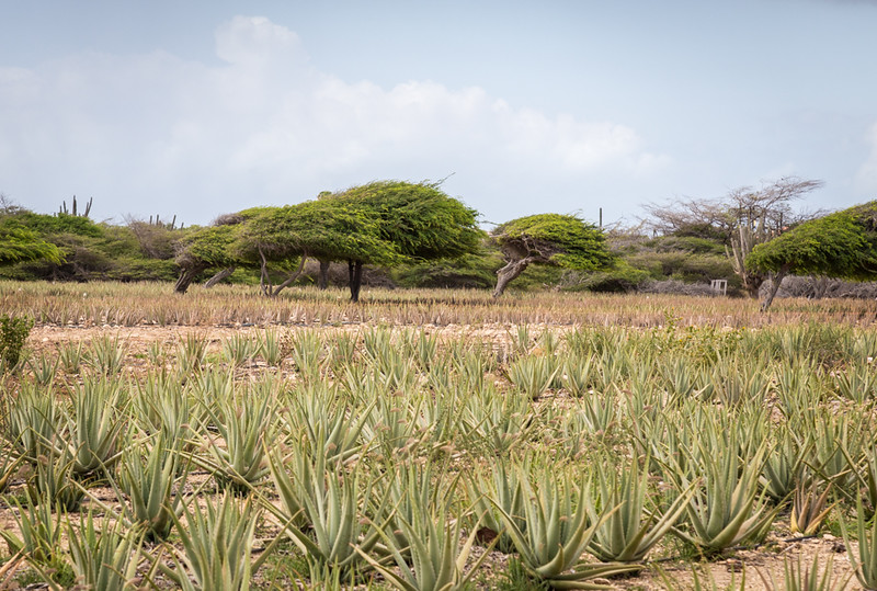 aloe plants in a field