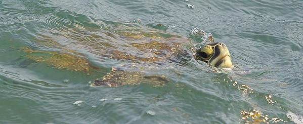 Sea Turtles of Port Aransas