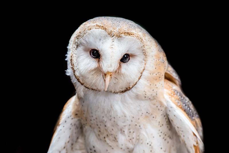 Barn owl frontal view