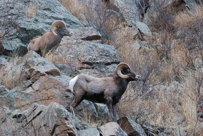 Bighorn Sheep 12062008 097.jpg
