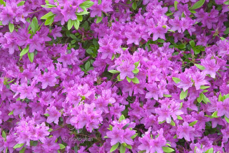 FloweringShrubs_Azalea-Pink_0432.jpg