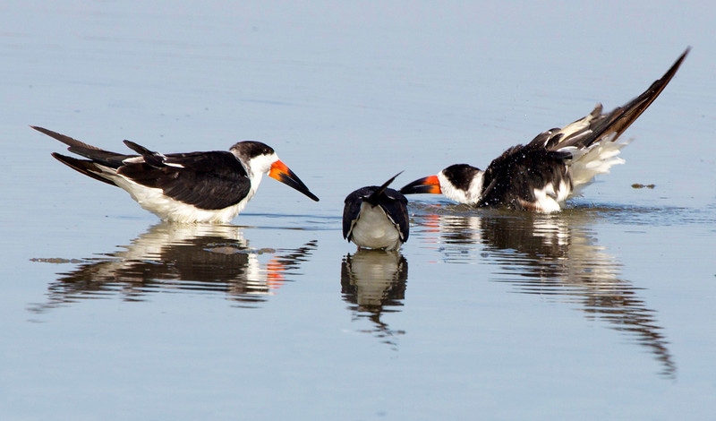 Three Black Skimmers in conference.