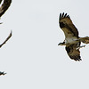 Osprey with dinner