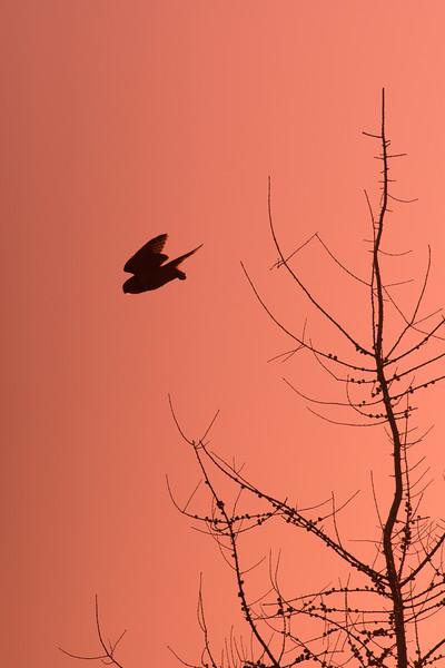 Northern Hawk Owl Zim Road Yoki Road Sax-Zim Bog MN DSC03029.jpg