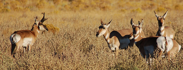 Pronghorns near Madras