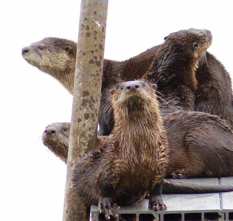 . The Dow Wetlands Preserve turns 25 years old this year. Originally purchased as an environmental buffer, the Antioch preserve has been lovingly cared for and is now home to many creatures, including these river otters. (Courtesy of Krist Jensen)