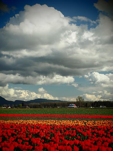 Tulips25.jpg