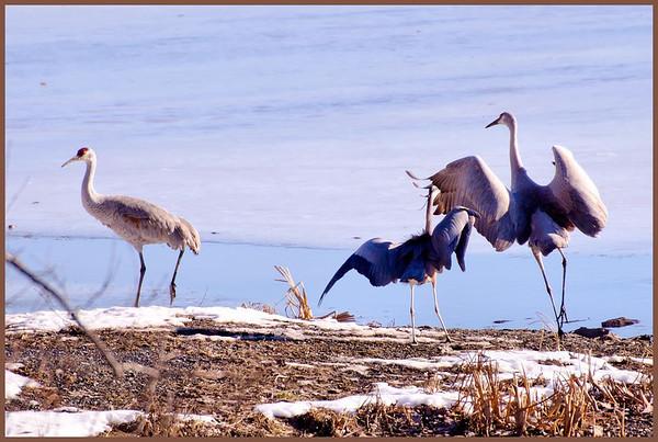 cranes-heron